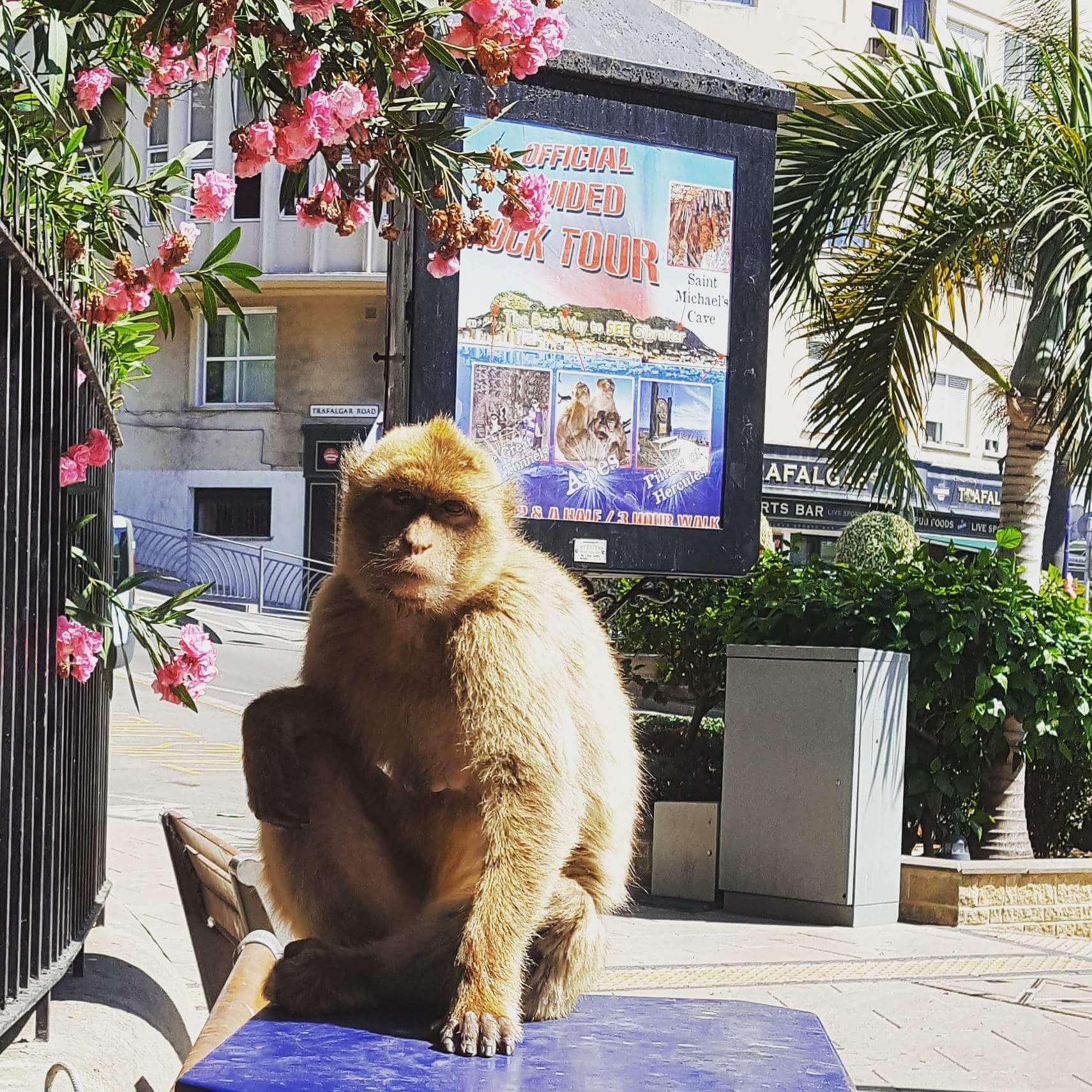 Macacos-gibraltar